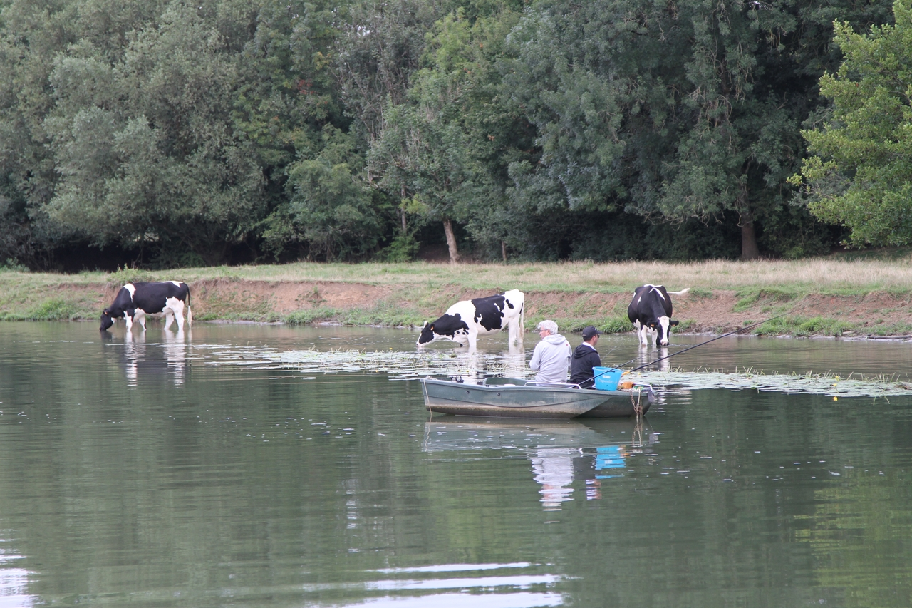 Sharing the Saone with other boats.......and cows!
